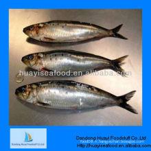 Poisson congelé pour la sardine animale