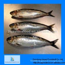 frozen fish for feed sardine