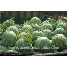 NW09 Haoqu red watermelon seed for open field seeds watermelon