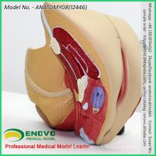 VENDRE 12446 Section d'organe pelvien de taille de la vie Modèle anatomique 4 pièces