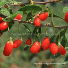Soins de santé autochtones Wolfberry