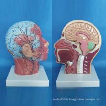 Modèle humain d'anatomie médicale vasculaire nerveuse du corps humain superficiel (R050127)