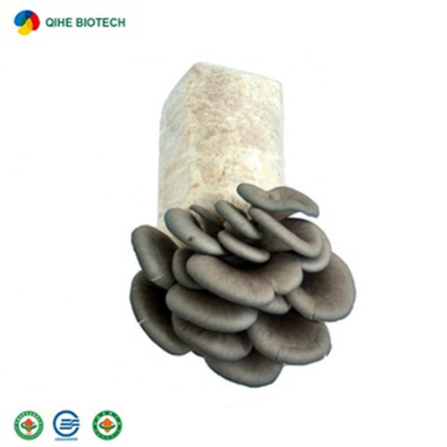 High-Yield Organic Oyster Mushrooms Spawn