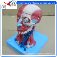 ISO Vivid Anatomical Brain Model With Vessels, Head Neck Model
