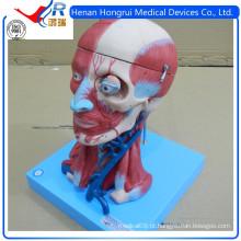 Modelo de cérebro anatômico vívido ISO com vasos, modelo de pescoço de cabeça