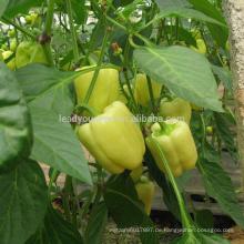 SP30 Baiyan extrem früh Reife spezielle Farbe Paprika Samen Hybrid