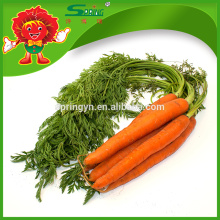 Fresh carrot best quality and cheap price red carrots