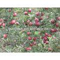 Свежие Huaniu Яблоко от хайленд-2013 урожай