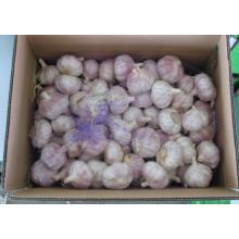 Nuevo Ajo Blanco Normal de Cultivos (5.0cm y más)
