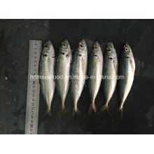 Nuevo pescado Scad redondo para la venta (14-18cm)