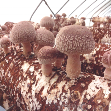 High Yield Hartholz Shiitake Log für den Export