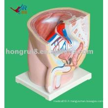 Modèle d'anatomie sagittale masculine (1 pièce)