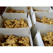 Nuevos cultivos de jengibre fresco (100G y más)