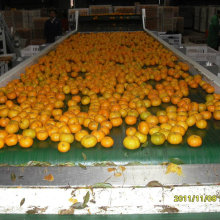 Hot Selling in Bangladesh Market Fresh Baby Mandarin Orange