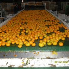 Vente chaude au Bangladesh marché bébé frais mandarine