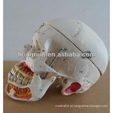 Modelo humano para educação caveira de plástico