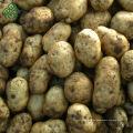 Bauernhof frische Kartoffel / hochwertige Kartoffel / Diamant Kartoffel