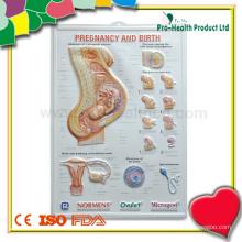 Anatomisches medizinisches 3D Plakat für Ausbildung