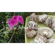 Nourriture savoureuse aux champignons Shiitake aux fleurs blanches séchées