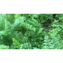 High-Zeiten Gemüse zum Verkauf Erbstück hs Code Samen Karotten Anbau von landwirtschaftlichen Saatgut Aussaat Pflanzen (51004)