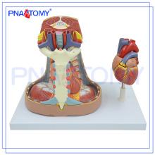 PNT-0480 Modelo de mediastino Modelo de anatomia humana do mediastino