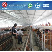 Hühnerstall H Typ Käfig Geflügel Ausrüstung für Schicht oder Broiler