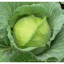 HC39 Lilun Сплюснутостью темно-зеленый гибрид F1 капусты семена