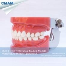 DENTAL 13001 modelos de dentes dentais padrão com 28pcs dentes removíveis fixados por cera