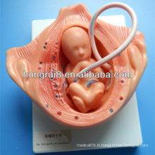 ISO pendant le mois de la gestation, modèles de développement de l'embryologie