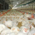 Equipamento para avicultura automático completo conjunto de alta qualidade para frangos de corte