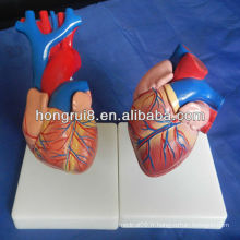 ISO taille de la vie Modèle de coeur humain, modèle de coeur pédagogique, modèle d'anatomie cardiaque