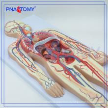 ПНТ-0438 кровообращение модель преподавания медицинской школы модель