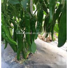 П34 Lvjian средне-раннего срока созревания гибрид темно-зеленого перца семена