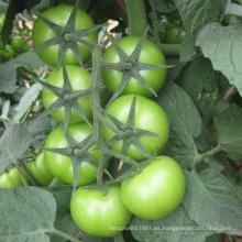 HT24 semillas de tomate híbrido Cameda red f1 con alto rendimiento