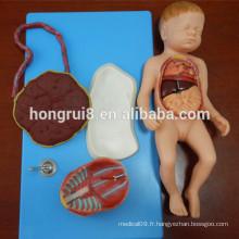 Modèle anatomique anatomique du fœtus avec Viscus et Placenta