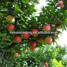 grade 1 fuji apple