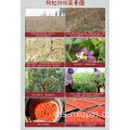 Specialty Ningxia Disposable wolfberry Kalengan