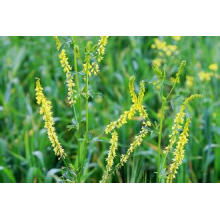 Extracto de planta natural de Luteolin Mignonette / Reseda Odorata / Extracto de dulce Reseda / Mignonette