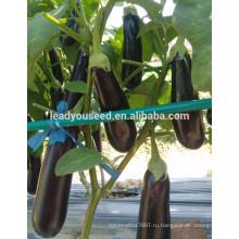 ME19 Xinguan недавно 55 дней фиолетовый-черный гибрид F1 баклажан семена цены