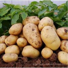 2016 Провинция Шаньдун Зимний урожай свежий картофель