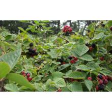 Zl-1046 Anic Blackberry Zl-1046 23