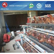 Gaiola de galinha de prata do equipamento das aves domésticas da tomada de fábrica da estrela