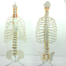 SPINE06 (12379) Medical Anatomy Science Life-Size Sternum with Transpaeent Rib for Medical School Education