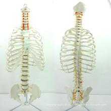SPINE06 (12379) Médica Anatomia Ciência Life-Size Sternum com Rib Transpaeent para Medical School Education