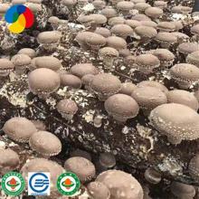 high yield shiitake mushroom spawn grow bags