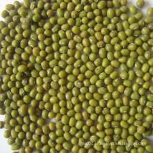 Primeira qualidade nova colheita feijão verde