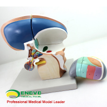 BRAIN13 (12411) Enlarge 3x Life Size 4 Peças Modelo Diencephalon, Modelos Anatomia> Medical Brain Models
