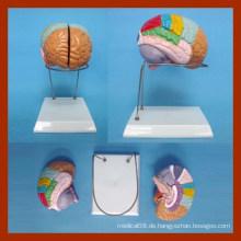 Natur Größe Menschliches Gehirn Modell (2 Teile)