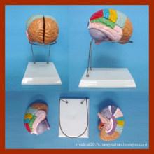 Nature Size Human Brain Model (2 pièces)
