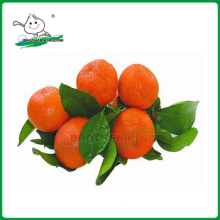 Mandarin orange/Fresh mandarin orange/ Fresh Orange
